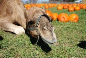 Camel laying in pumpkin field