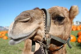 Camel side profile