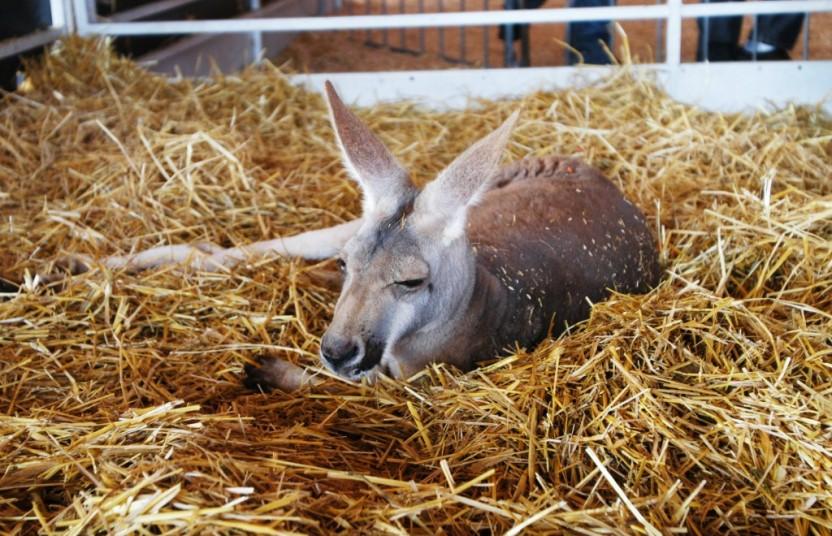 Kangaroo Laying Down