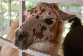 llama with brown spots on face