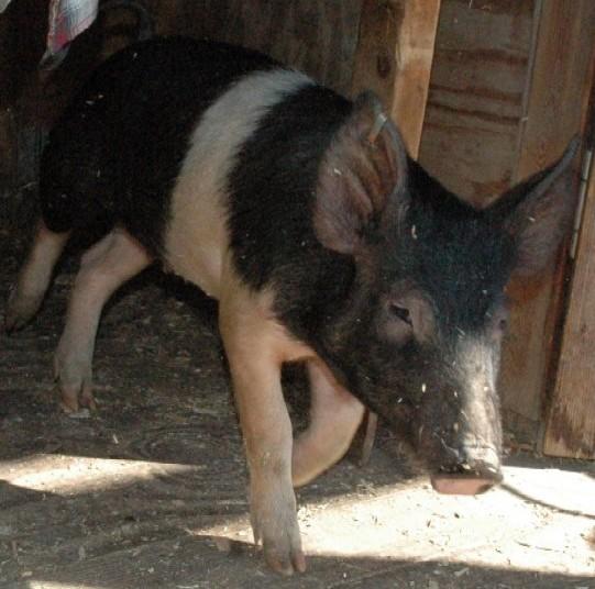pig walking into sun