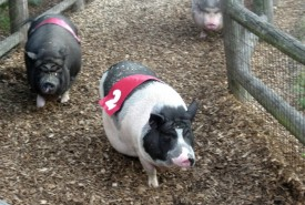 potbelly pigs racing on track