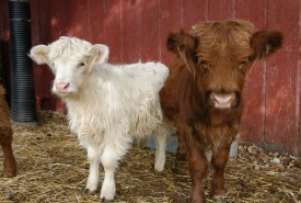 Scotish Highlanders - fluffy cows