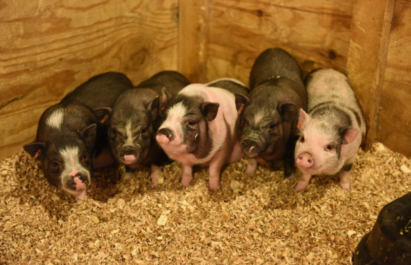 five baby potbelly pigs