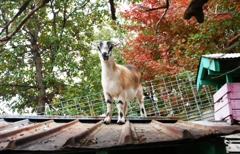 goat standing on a roof