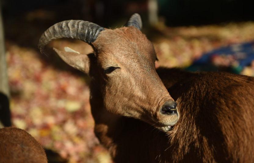 ram in the sunlight