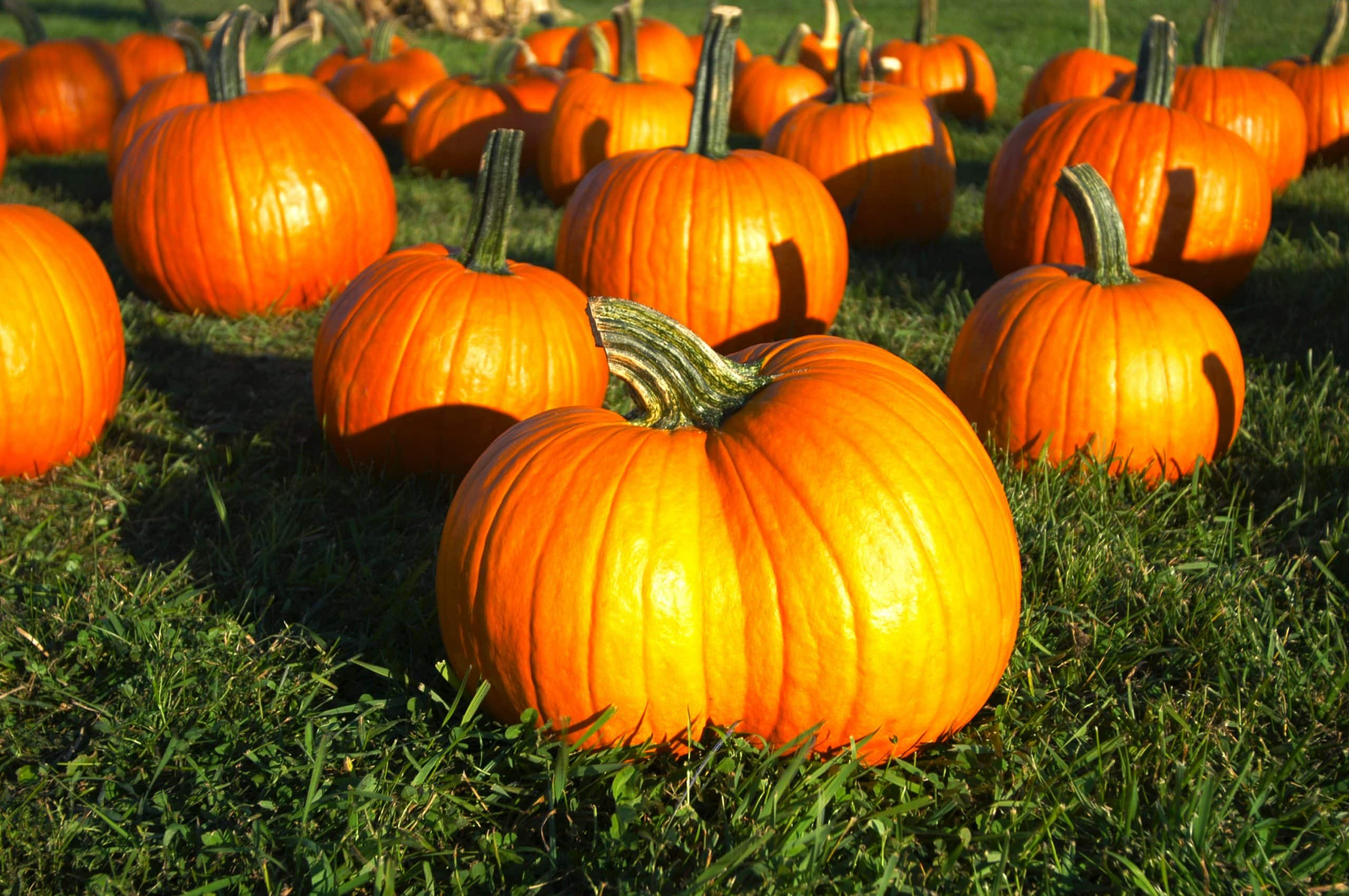 Twin Pumpkin at Bengtson Farm
