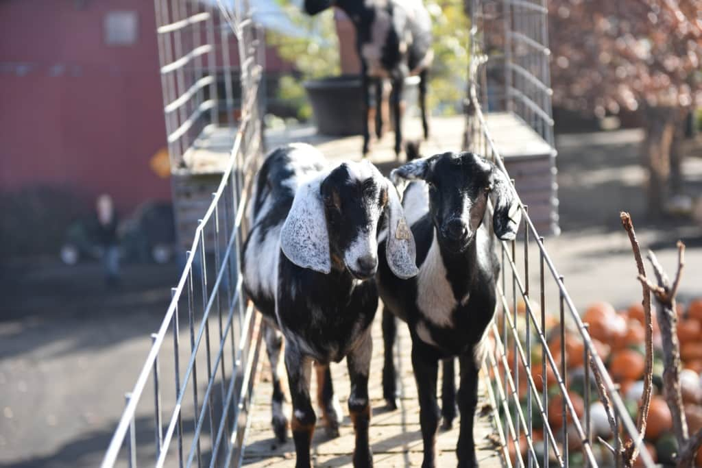 Goat Best Freinds