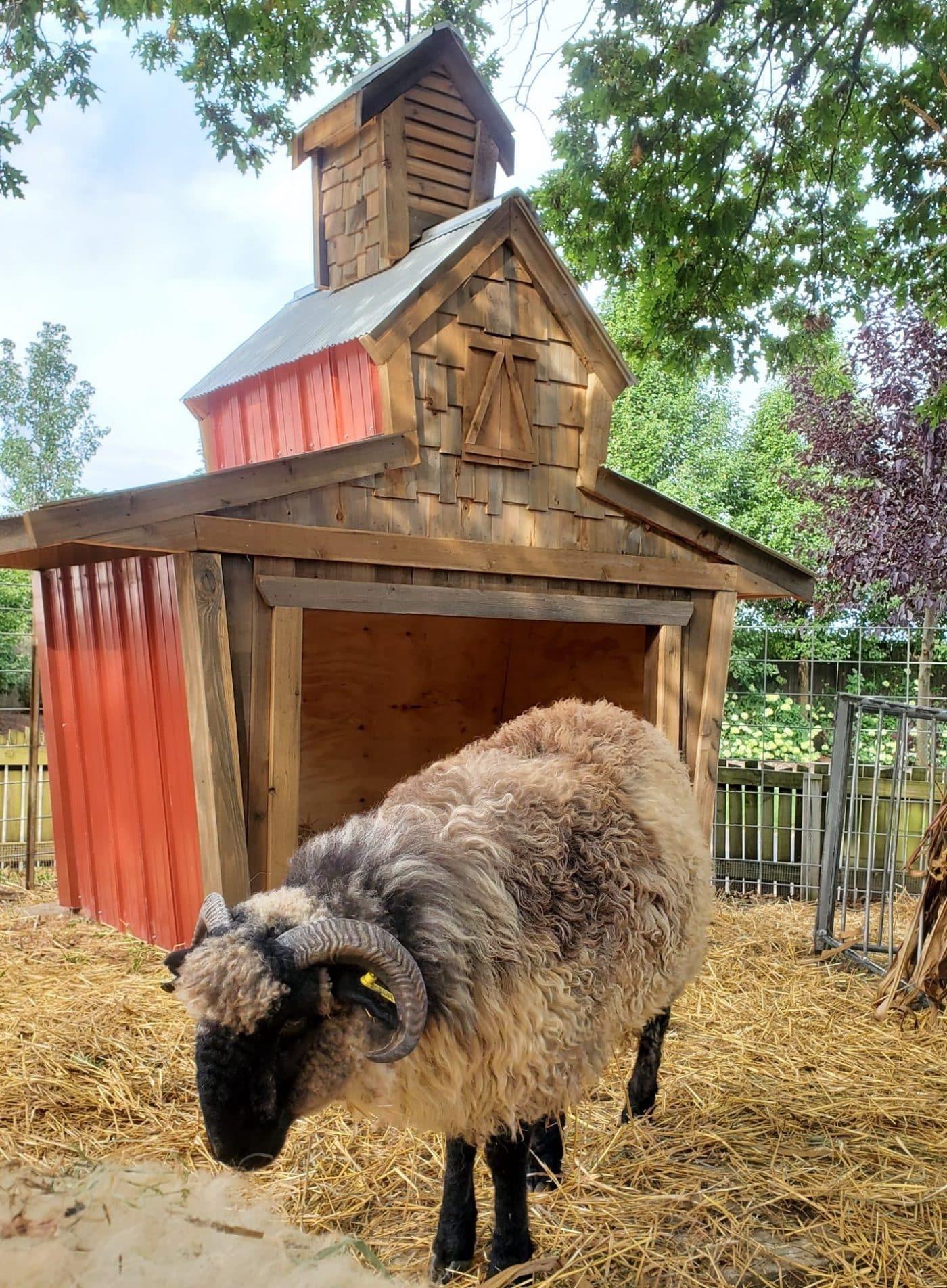 Scottish Highland Blackface Sheep at Bengtson Farm